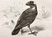 Old illustration of Thick-billed Raven (Corvus crassirostris). Created by Kretschmer, published on Merveilles de la Nature, Bailliere et fils, Paris, 1878
