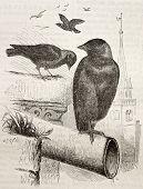 Old illustration of a Jackdaw (Coloeus monedula). Created by Kretschmer, published on Merveilles de la Nature, Bailliere et fils, Paris, 1878