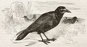 Old illustration of a Rook (Curvus frugilegus). Created by Kretschmer and Wendt, published on Mervei