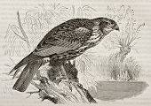 Old illustration of Western Marsh Harrier (Circus aeroginosus). Created by Kretschmer, published on
