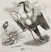 Old illustration of Secretarybird (Sagittarius serpentarius). Created by Kretschmer, published on Me