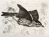 Redwing old illustration (Turdus iliacus). Created by Kretschmer and Wendt, published on Merveilles