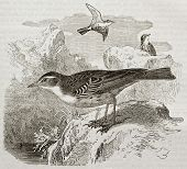 Water Pipit old illustration (Anthus spinoletta). Created by Kretschmer, published on Merveilles de
