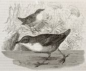 White-throated Dipper old illustration (Cinclus cinclus). Created by Kretschmer, published on Mervei