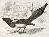 European Magpie old illustration (Pica pica). Created by Kretschmer and Jahrmargt, published on Merv