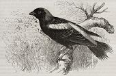 Bobolink old illustration (Dolichonix oryzivorus). Created by Kretschmer, published on Merveilles de