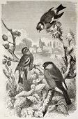 Goldfinch, Siskin and Bullfinch old illustration. Created by Kretschmer and Jahrmargt, published on