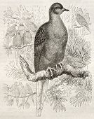 Passenger Pigeon old illustration (Ectopistes migratorius). Created by Kretschmer and Jahrmargt, pub