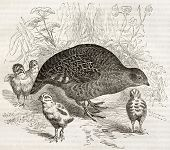 foto of hungarian partridge  - Grey Partridge old illustration  - JPG