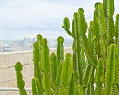 pic of nopal  - Cactuses over a blurred view of the downtown of Los Angeles - JPG