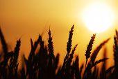 Wheat 082