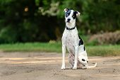 Cute Black And White Dog Sitting On A Dirt Road With Serious Face poster