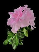 Delicate Light Pink Azalea Flowers (rhododendron) With Leaves Close Up, Isolated On A Black Backgrou poster