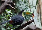 Colorful Toucan in Masoala pavillion, Zurich Zoo