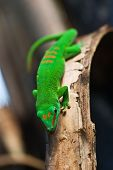 Green Madagascar gecko on a tree