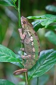 Madagascarian chameleon on the tree