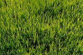 Rice Paddy Growing In The Farm Thailand poster