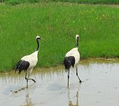 cranes with gree grass colors in the background (See more birds in my portfolio).