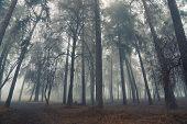 Autumn Forest Mist Trees Silhouette Landscape. Mysterious Forest Mist Trees In Autumn Fog. Halloween poster