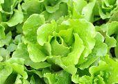 lettuce growing in the soil
