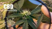Psychoactive Elements In Marijuana Buds. Magnifying Glass To Check Marijuana Harvest Cbd Thc poster