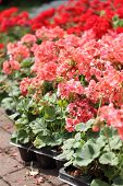 Pink and red pelargonium before planting