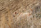 a labrador retriever in a field