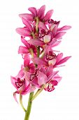 Purple Cymbidium Isolated On White