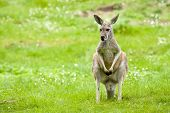 Kangaroo In A Meadow