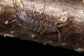 stock photo of woodlouse  - Close macro image of Woodlice - JPG