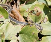 foto of harmless snakes  - A garter snake peeking out from leaves - JPG