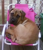 pic of bull-mastiff  - Large Bull Mastiff puppy trying to fit into small pink kids chair - JPG
