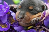 Miniature Pinscher Puppy