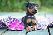 pic of miniature pinscher  - The Miniature Pinscher puppy - JPG