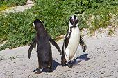 African Penguin Dance