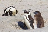 Jackass Penguin Parent And Chick