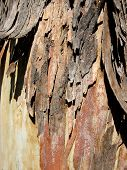 Peeling Tree Bark poster