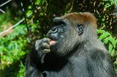 Gorilla Licking Its Finger