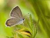 Mariposa de cola azul oriental, Everes comyntas, descansando sobre una flor de Black-Eyed Susan contra verano