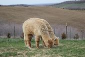 pic of alpaca  - Alpacas are grown for their wool - JPG