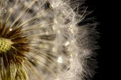 picture of blow-up  - Beautiful dandelion with seeds on black background - JPG