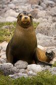 Juvenile Galapagos Sea Lion (zalophus Wollebaeki)