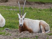 foto of eland  - an eland staring warily from the grass