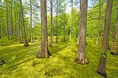 Hidden Cypress Forest On A Sunny Day