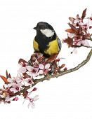 Close-up of a male great tit perched on a flowering branch, Parus major, isolated on white