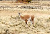 Guanaco en Patagonia