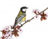 Male great tit perched on a flowering branch, Parus major, isolated on white