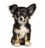stock photo of vertebral  - Chihuahua puppy sitting - JPG