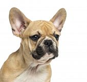 Close-up pf a French Bulldog puppy, 3 months old, isolated on white
