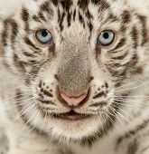 foto of tiger cub  - Close - JPG